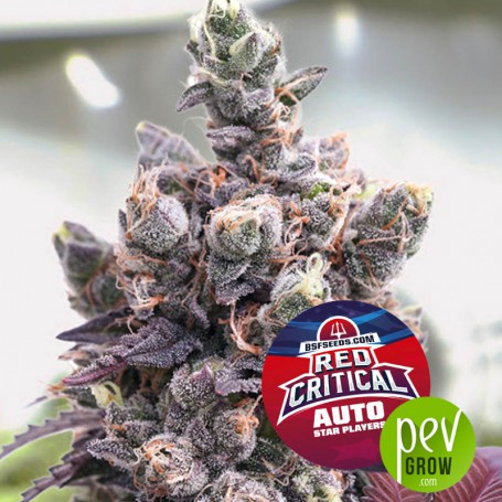 Red Critical Auto -BSF Seeds