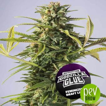 Godzilla Glue - BSF Seeds