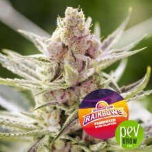 Rainbows - BSF Seeds