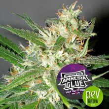 Amnesia Glue - BSF Seeds