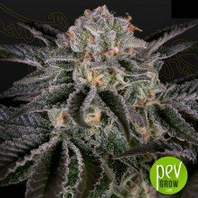 Wonder Pie - Green House Seeds