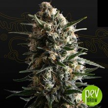 Bubba Slush - Green House Seeds