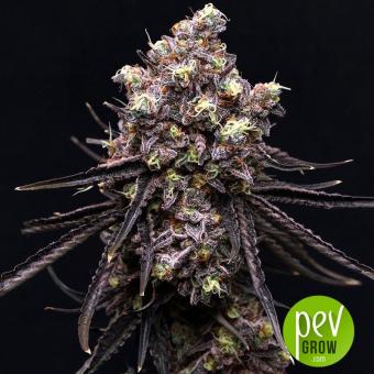 MAC x Purple Punch - Purple City Genetics