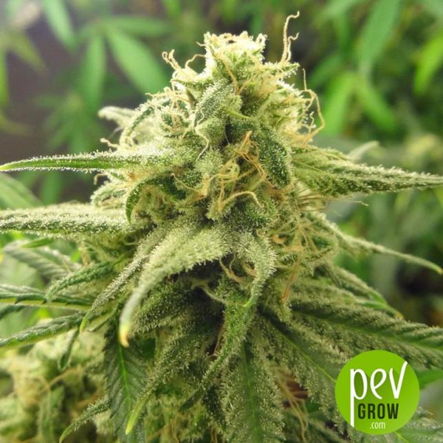 Banana OG x F1 Durb x Gushers - Purple City Genetics