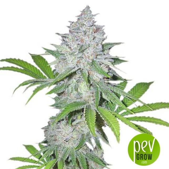 Gorilla Snow Ultra CBD - Elite Seeds