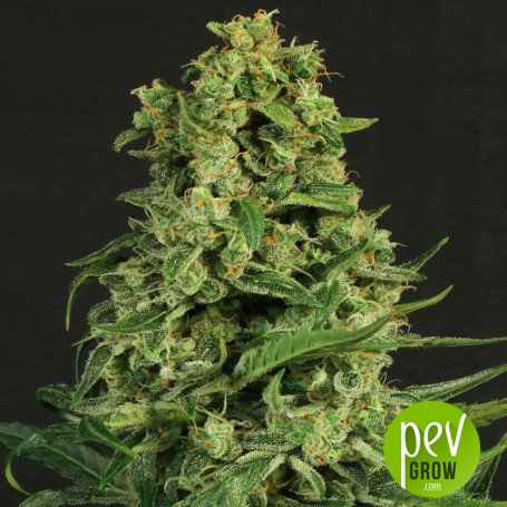 Sir Jack Auto CBD - Exotic Seeds