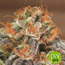 Dr Greenman Pure CBD planta - Exotic Seeds