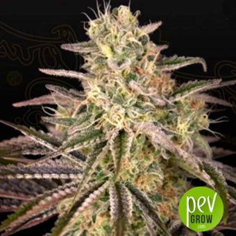 Cloud Walker plante - Green House