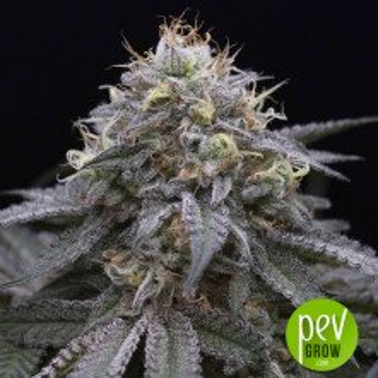 Dosidos x Key Lime Pie - Purple City Genetics