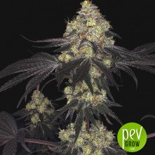 Sunset Paradise - Paradise Seeds