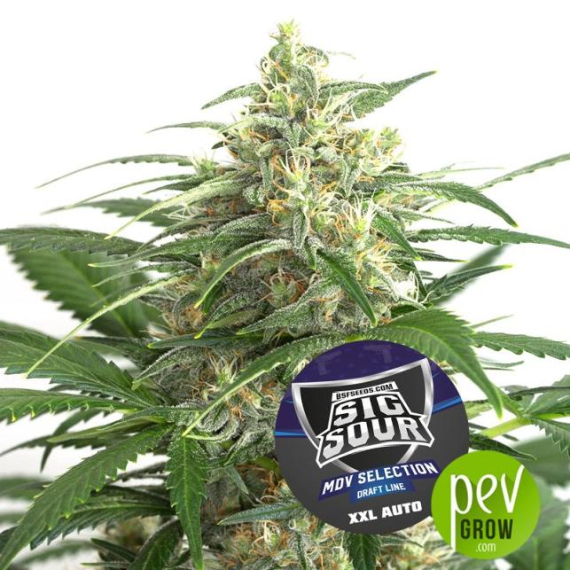 Sig Sour XXL Auto - BSF Seeds
