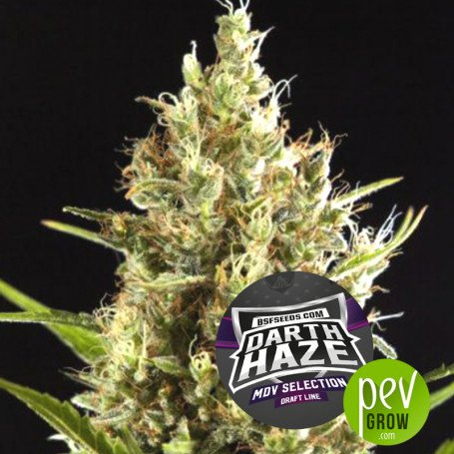 Dart Haze - BSF Seeds