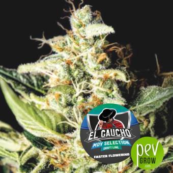 El Gaucho Fast Flowering - BSF Seeds