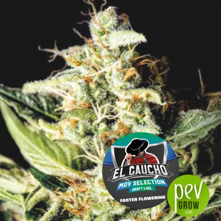 El Gaucho Fast Flowering - BSF Seeds