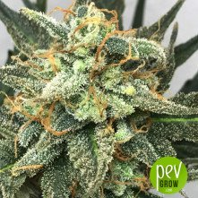 Fruit Punch - Heavyweight Seeds