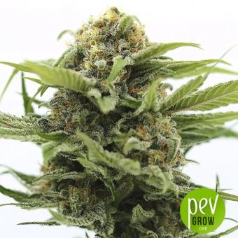 Pineapple Poison - Super Sativa Seed Club