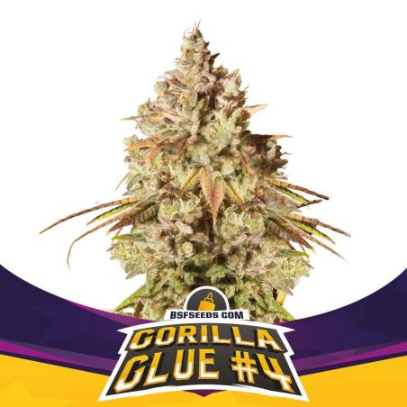 2 Gorilla Glue 4 by BSF Seeds
