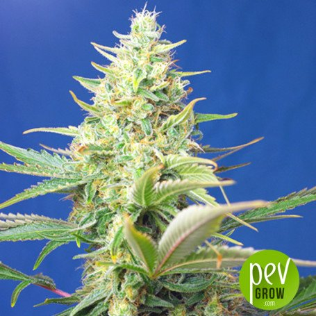 Sweet Peach Auto CBD - Original Sensible Seeds