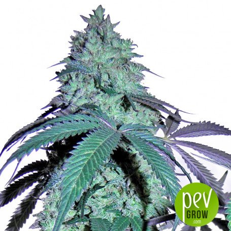 Blue Gelato 41, in outdoor crops reaches the astronomical figure of 2500-3000 gr per plant