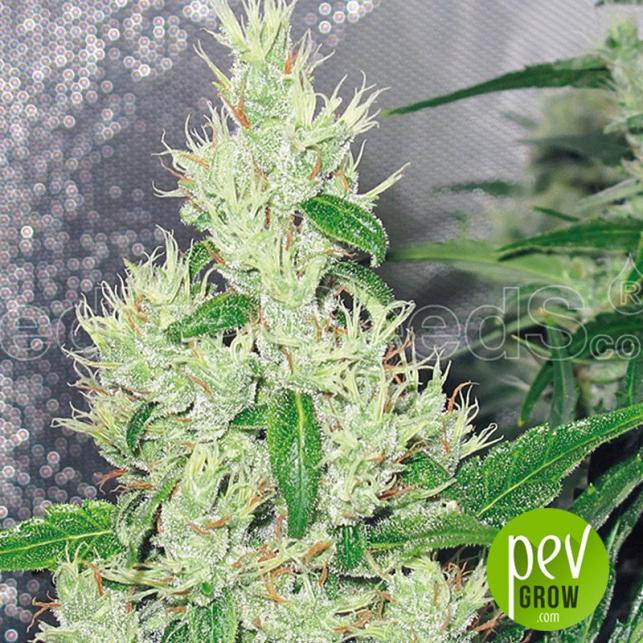 Y Griega - Medical Seeds