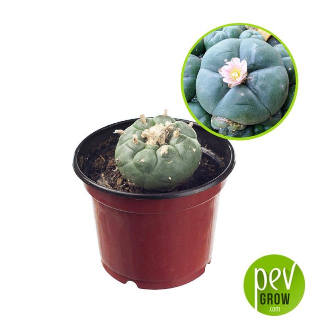 Peyote-Kaktus