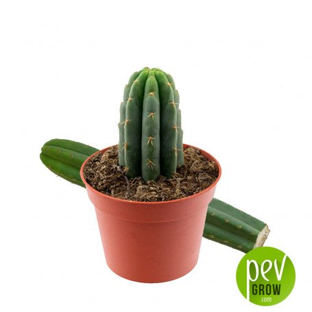 Cactus San Pedro (Echinopsis Pachanoi)