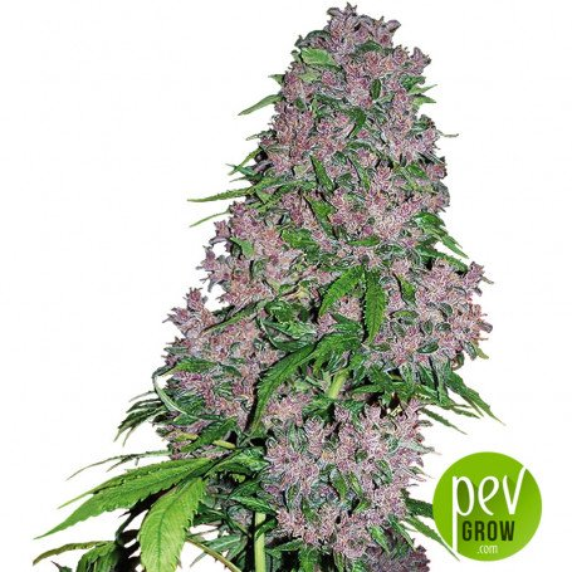Purple Bud White Label Sensi Seeds