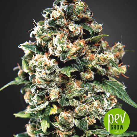 Jack Herer - Green House Seeds