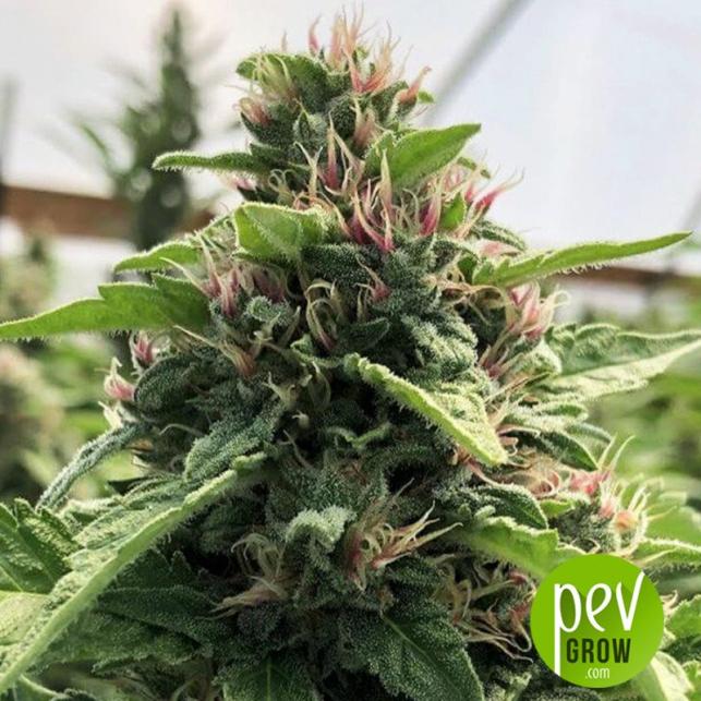 Papaya x THC Bomb - Purple City Genetics