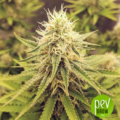 White Widow x Chronic von Spanish Seeds