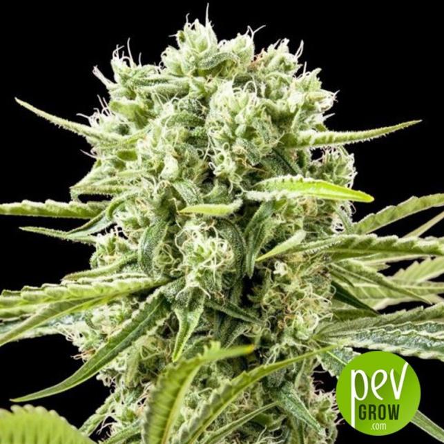 Cannafuel CBD+ - Original Sensible Seeds