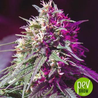 Purple Sunset Auto - Philosopher Seeds