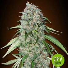 Chocolate Skunk CBD - 00 seeds