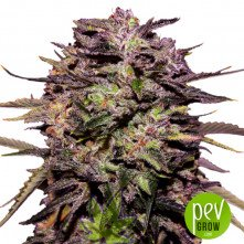Purple Russian Express - Kalashnikov Seeds