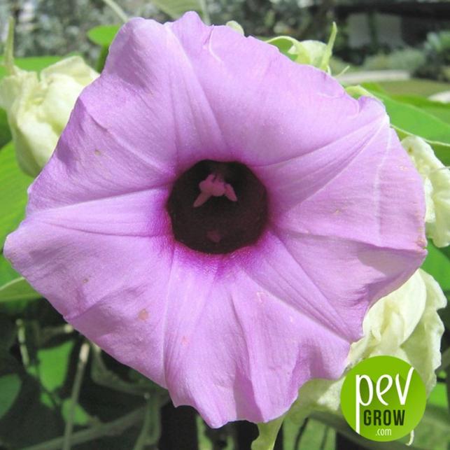 Rosa Lisérgica Hawaiana (Argyreia Nervosa)