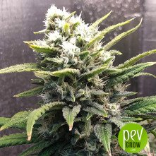 Auto CBG Force - Dutch Passion
