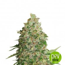 CBD Critical XXL de Seed Stockers