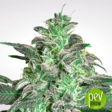 Magic Bud de Paradise Seeds