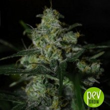 Auto White Berry from Paradise Seeds