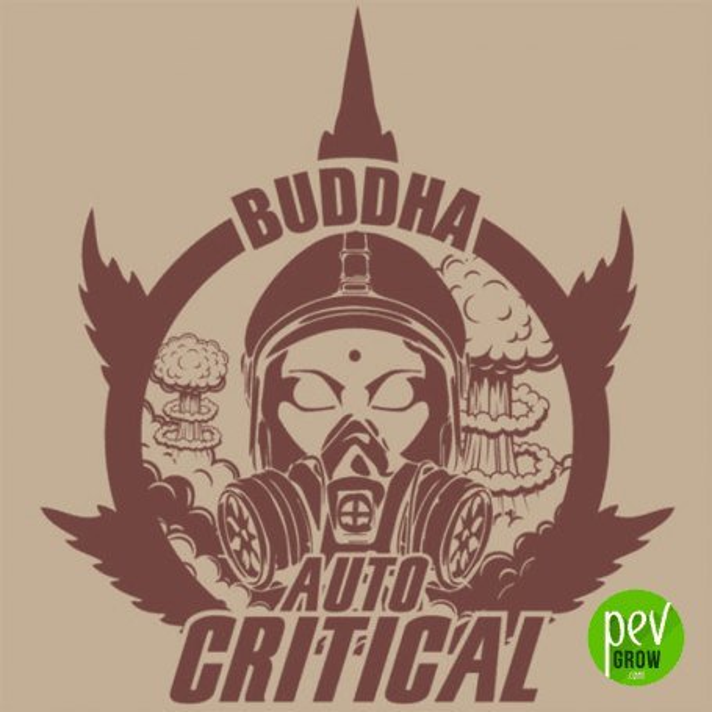 Buddha Seeds Auto Critical