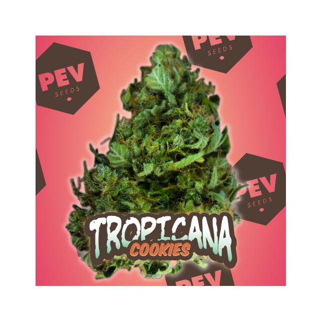 Tropicana Cookies Auto - PEV Bank Seeds