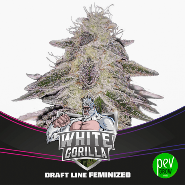 White Gorilla BSF Seeds