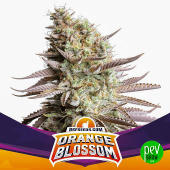 Orange Blossom BSF Seeds