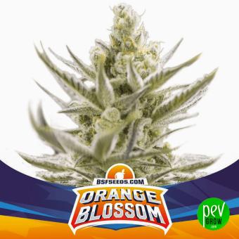 Orange Blossom XXL Auto BSF Seeds
