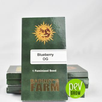 Blueberry Og Sorte von Barneys Farm im Originalformat von 1 Samen in weißem Hintergrund.