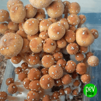 Red Boy Mushroom Growing Kit