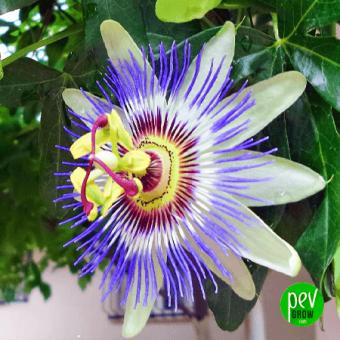 Passiflora-Incarnata-Extrakt