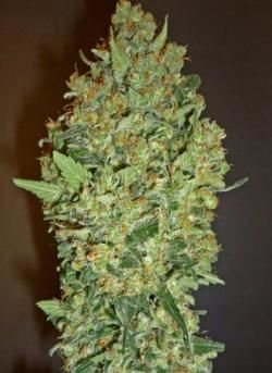 cheese-berry-00-seeds