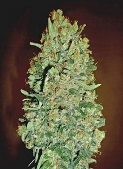 chocolate-skunk-auto-00-seeds