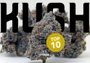 The best marijuana Kush strains